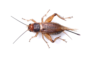 Tell The Truth Thursday - Eating Crickets