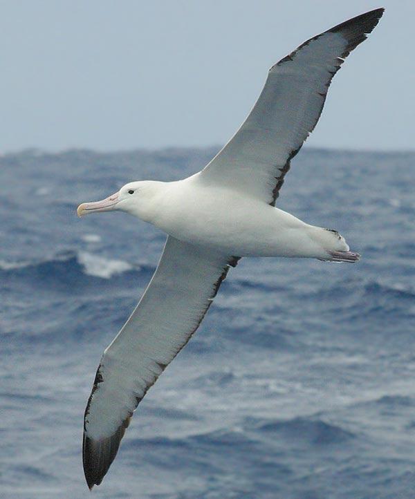 Burung Albatros : burung, albatros, Quizlexic:, Question, Flying, Tigers