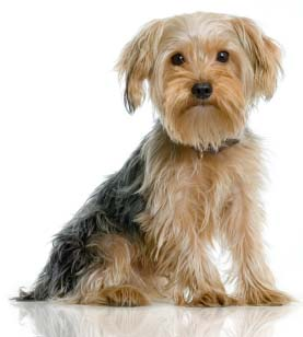Yorkshire Terriers Ears Floppy Or Not