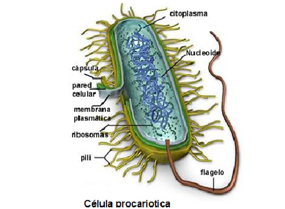 Ciencias Naturales Estructura Anatomia Celular