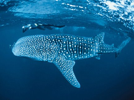 Whale Shark Wetsuit