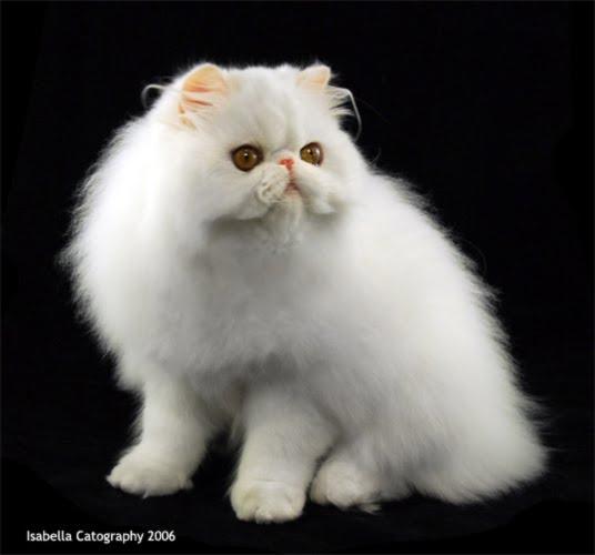 Rudy Dewanto Memelihara Kucing Persia