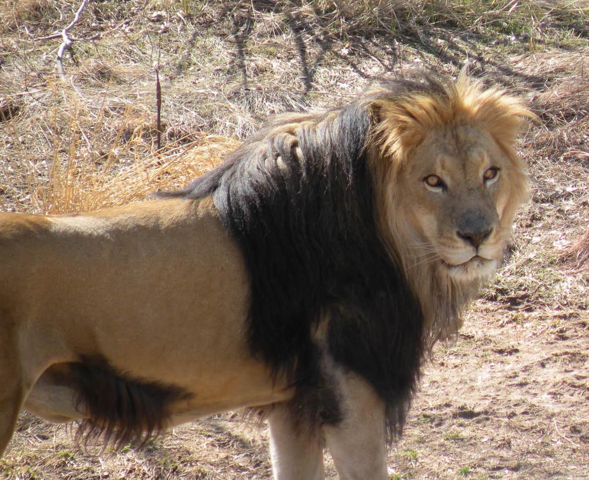 Lion sitting profile - photo#35
