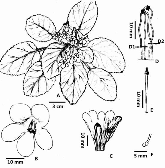 Oreocharis caobangensis
