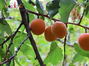 Fresh and juicy apricots in dah village