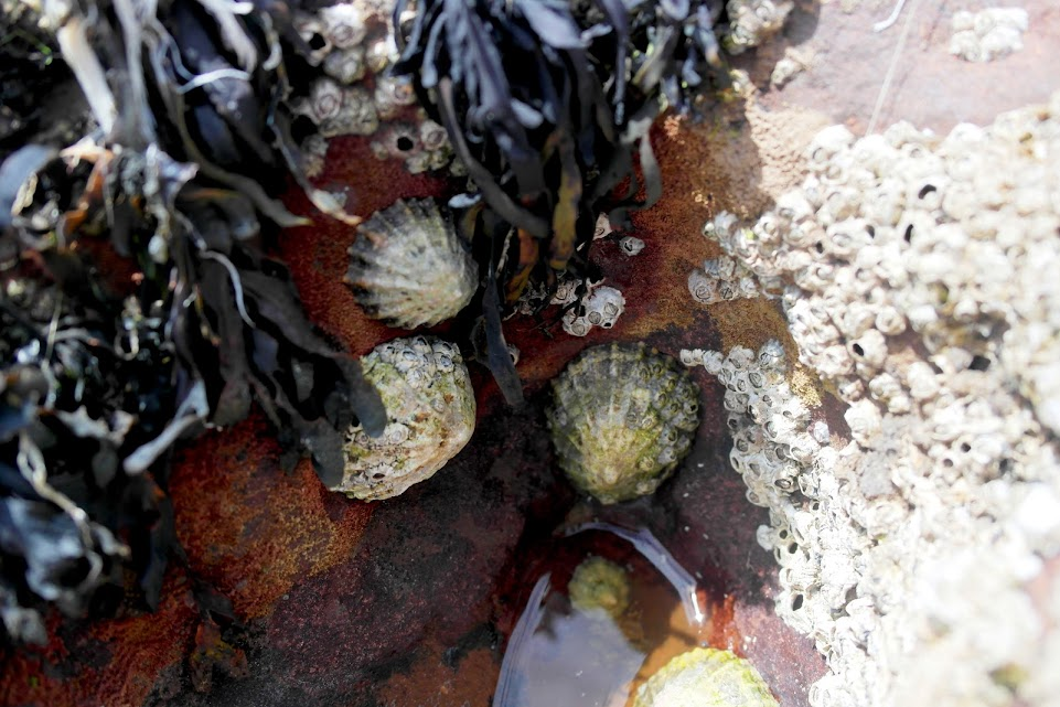 st. bees shore ecology limpets
