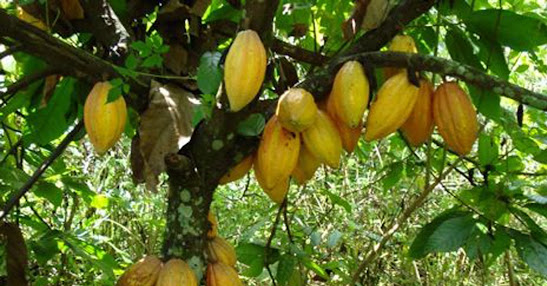 Cacao tree with fruits.  Image credit:  TreeHugger.com.